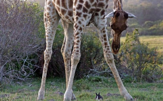Unlikely friendship between wild giraffe and pet rabbit